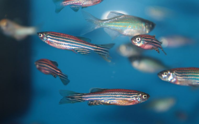 new zebrafish model
